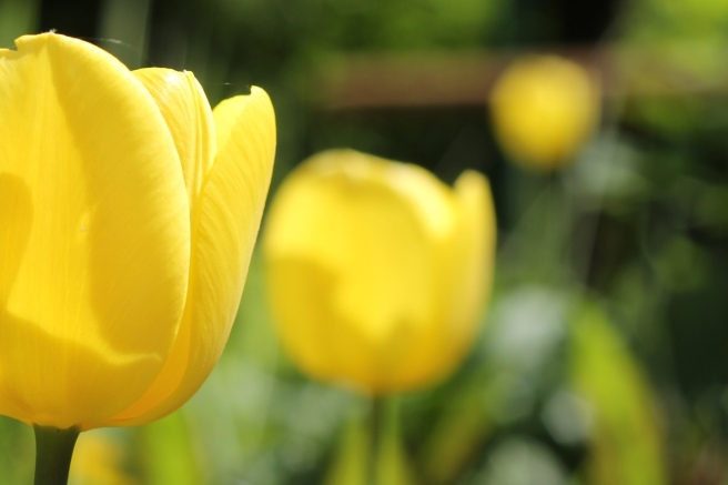 RadkaZKing_YellowTulips_inthegarden